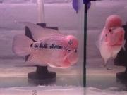 Flower Horn fish for sale