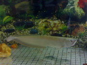 15INCH SILVER AROWANA FOR SALE