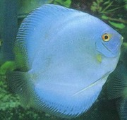 Discus Fish For Sale in Ernakulam