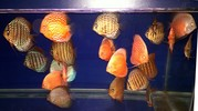 Different Strain Big+Medium size 34 nos. Discus + 2 Tanks + Mopany