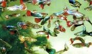 breeders of aquarium fish
