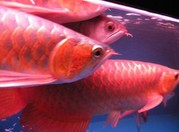 Premium Quality tropical Aquarium Fishes For Sale