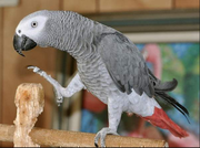 Talking and Beautiful African Grey Parrotsss