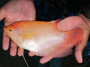 Albino Giant Gourami