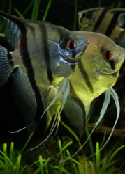 Fresh Water Aquarium fish and accessories available with home delivery