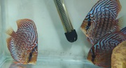 Discus fishes of big size for sale in Goa only